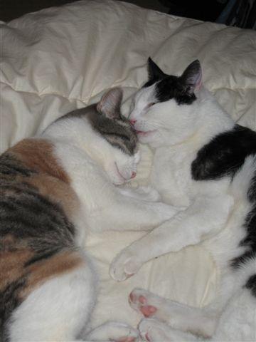 gevonden katten hilversum