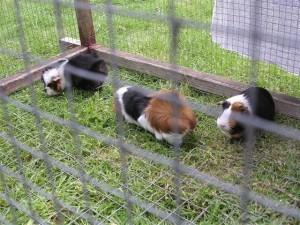 Drie grasmaaiers samen gezellig in de buitenkooi. Links de moeder en rechts de zus van Dougie, de middelste is (gecastreerde) macho Knorretje