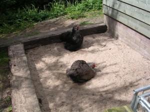 Kippen zijn dol op een bad in hun eigen zandbak