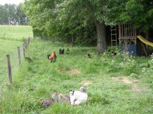 Kippen horen te scharrelen in het bos!